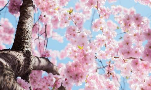 桜穴場 スポット 熊本 お花見 地元 おススメ 場所 見頃 時期